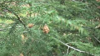 How to ID Tsuga canadensis