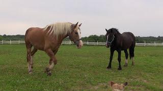 Особенности воспроизводства крупных лошадей.