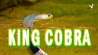 King Cobra #snake Королевская индийская кобра #Отдых #горящие #туры в Индию Горящие туры в Шри Ланку(King Cobra Королевская кобра - самая длинная ядовитая змея в мире, - длина отдельных особей может достигать пяти..., 2016-05-30T21:37:00.000Z)