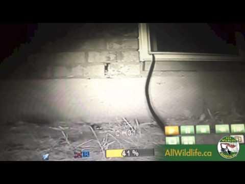 Night Vision Footage Mice Entering Weeping Brick