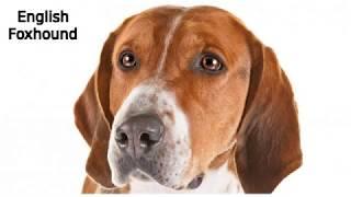 English Foxhound  large dog breed