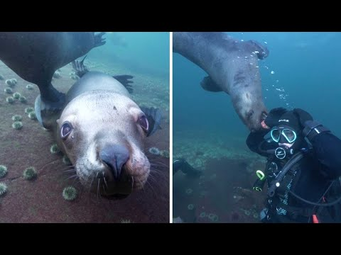 Cheeky Sea Lions Hang Out With Divers