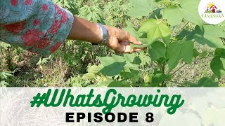 #WhatsGrowing Episode 8 | [05.09.2020] #virtualtour #aanandaatour