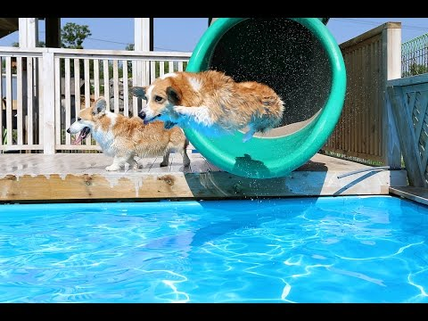 Corgi Pool Party