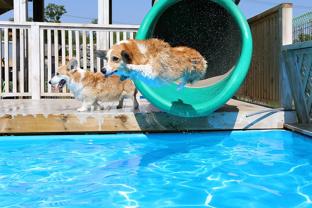 Corgi Pool Party   YouTube