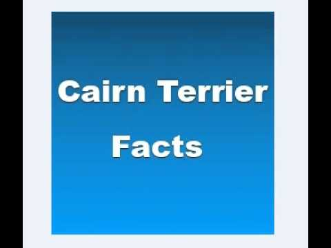 Cairn Terrier Facts - Facts About Cairn Terriers