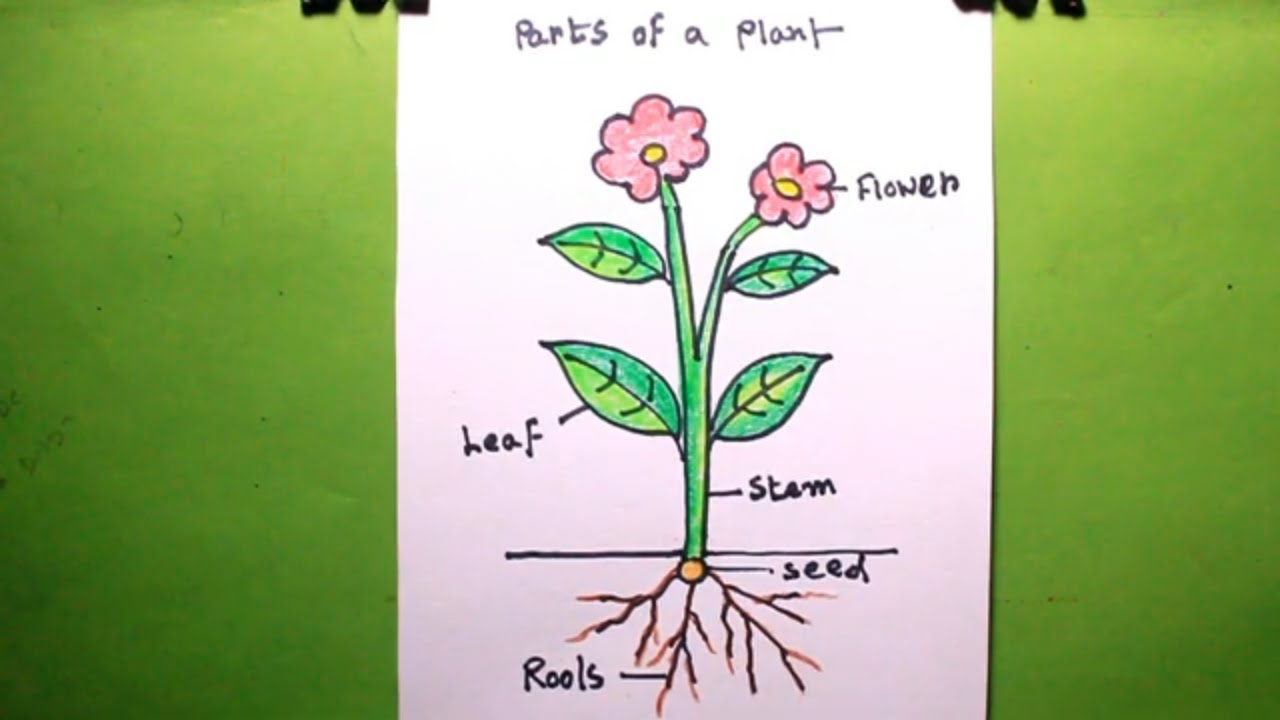 How To Draw A Plant Draw Different Parts Of Plant Plant Drawing
