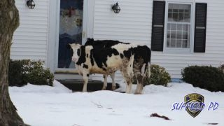 CT police issue odd cow advisory