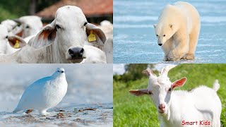 Learn White Animals   Learn Names and sounds of Animals for Childrren   Animal guessing for Kids