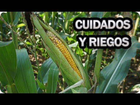 Cuidados Y Riego Del Cultivo Del Maiz || La Huertina De Toni