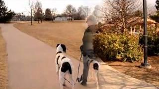 Teaching A Great Dane Loose Leash Walking