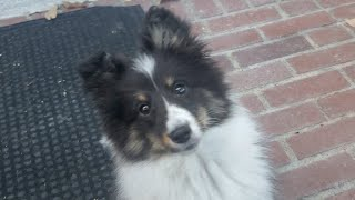 Ollie the Sheltie Ears are up! 4K Too Cute!