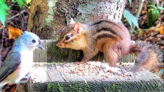 Chipmunk Versus Tufted Titmouse