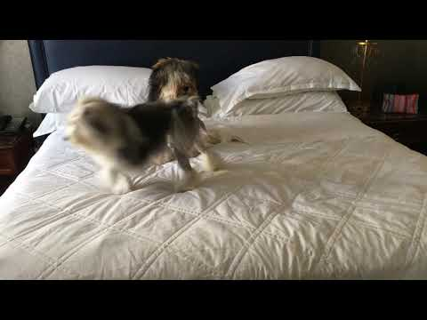 2019-05-24 Lowchens Samba and Oscar Play on Bed