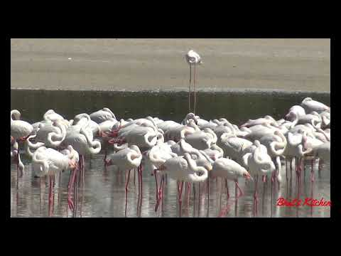 Flamingos in Dubai ||Wildlife Sanctuary in Dubai || Ras al Khor wetland Dubai