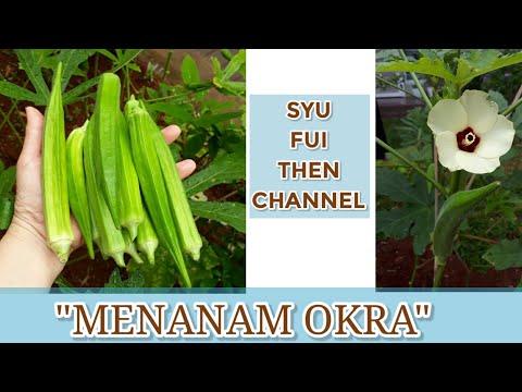 MENANAM OKRA#TANAMOKRA#SUKAKEBUN#LADYFINGER