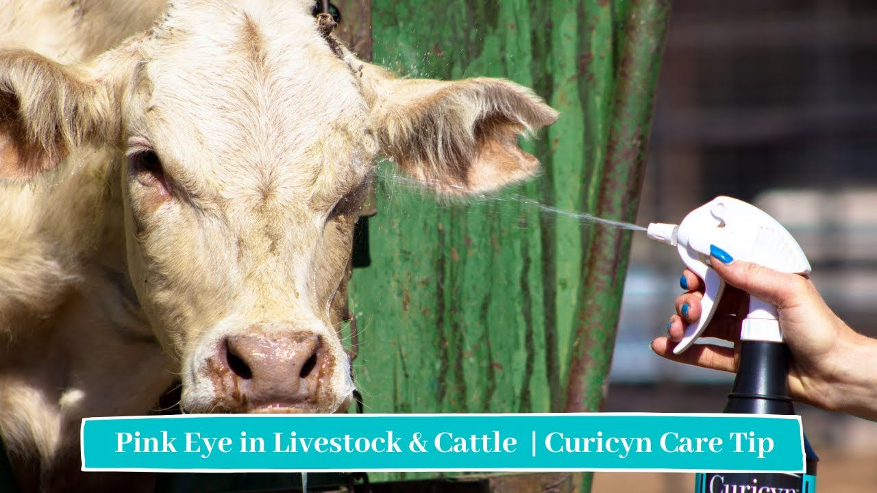 Pink Eye Solution By Curicyn For All Animals Affected By Pink Eye