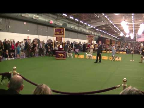 Whippet Westminster dog show 2017