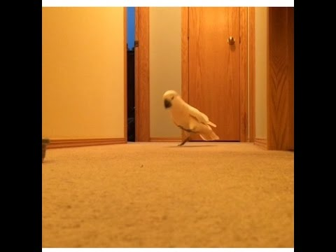 Captivating The Happiest Cockatoo In The Hallway