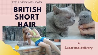 Living with Cats | British Short Hair + Labor and delivery | BITSANDPIECES  Philippines