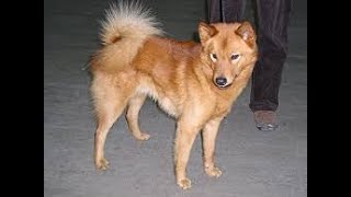 #110 FINNISH SPITZ 3/3 | Which Dog Should I Get? Dog Breed Selector