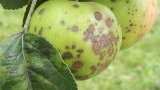 видео Борьба с паршой на яблонях – основные способы и советы