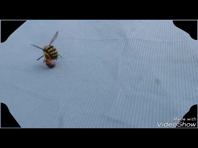 Wespe vs. Biene