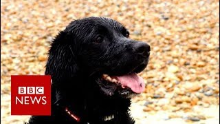 'Hero' dog rescues drowning family - BBC News