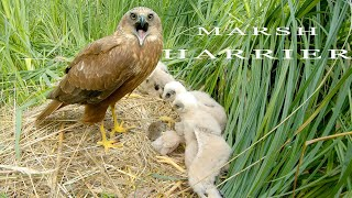 Marsh harrier. Birds in breeding season.