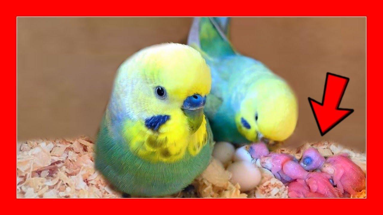 periquito macho comiendo huevos y diabetes