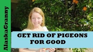 Get Rid Of Pigeons for Good With Rat Traps