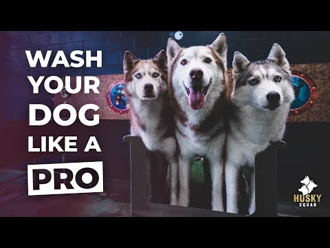 How To Bathe Your Siberian Husky + BEST TOOLS