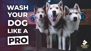 How To Bathe Your Siberian Husky + BEST TOOLS