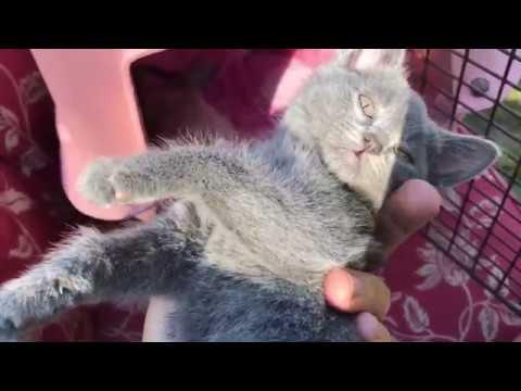 My New Kittens Curly Hair Blue Kitten Youtube