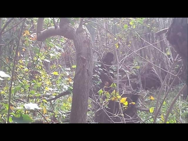 Tom's strange Bigfoot and Dogman Encounters with a threatening  twist