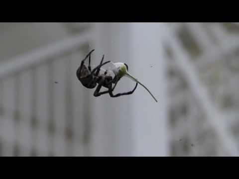 Araneus ventricosus Spider Didn't Like My Flower Gift オニグモ♀がヒメジョオンの花を網から捨てる