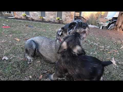 Standard Schnauzer - one male puppy availible