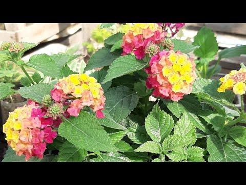 Вопрос: Почему неожиданно вянет цветок- однолетник на клумбе?