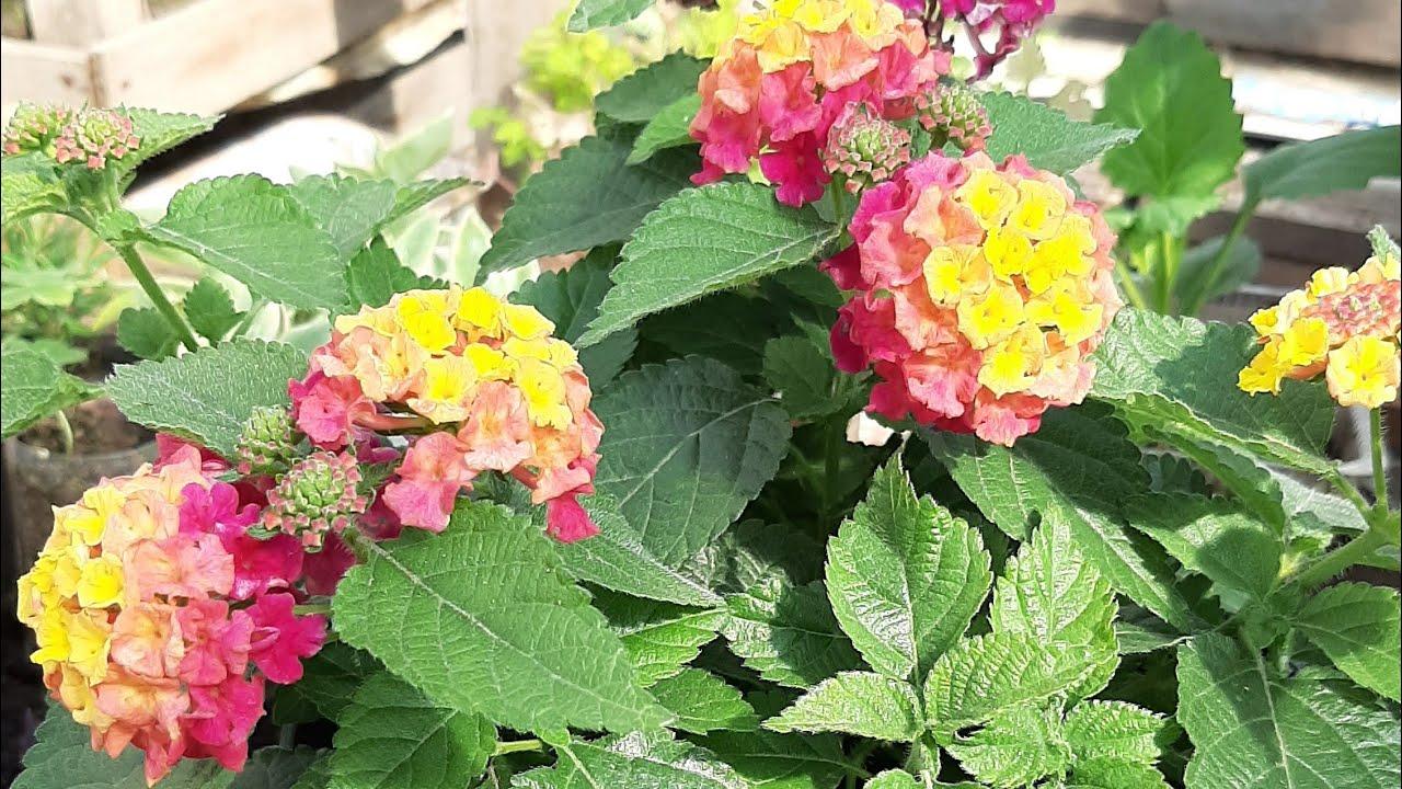 КРАСИВЫЕ МНОГОЛЕТНИЕ ЦВЕТЫ для ЦВЕТНИКА КЛУМБЫ и САДА цветы цветущие все лето