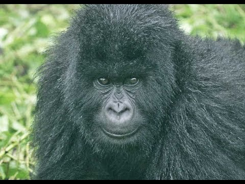 Gorillas and Wildlife of Uganda HD