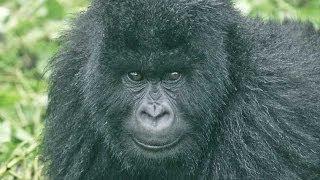 Gorillas and Wildlife of Uganda HD