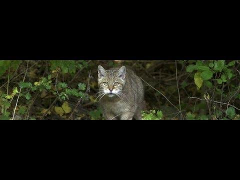 Wildkatzen: Bedrohte Jäger ARTE Xenius