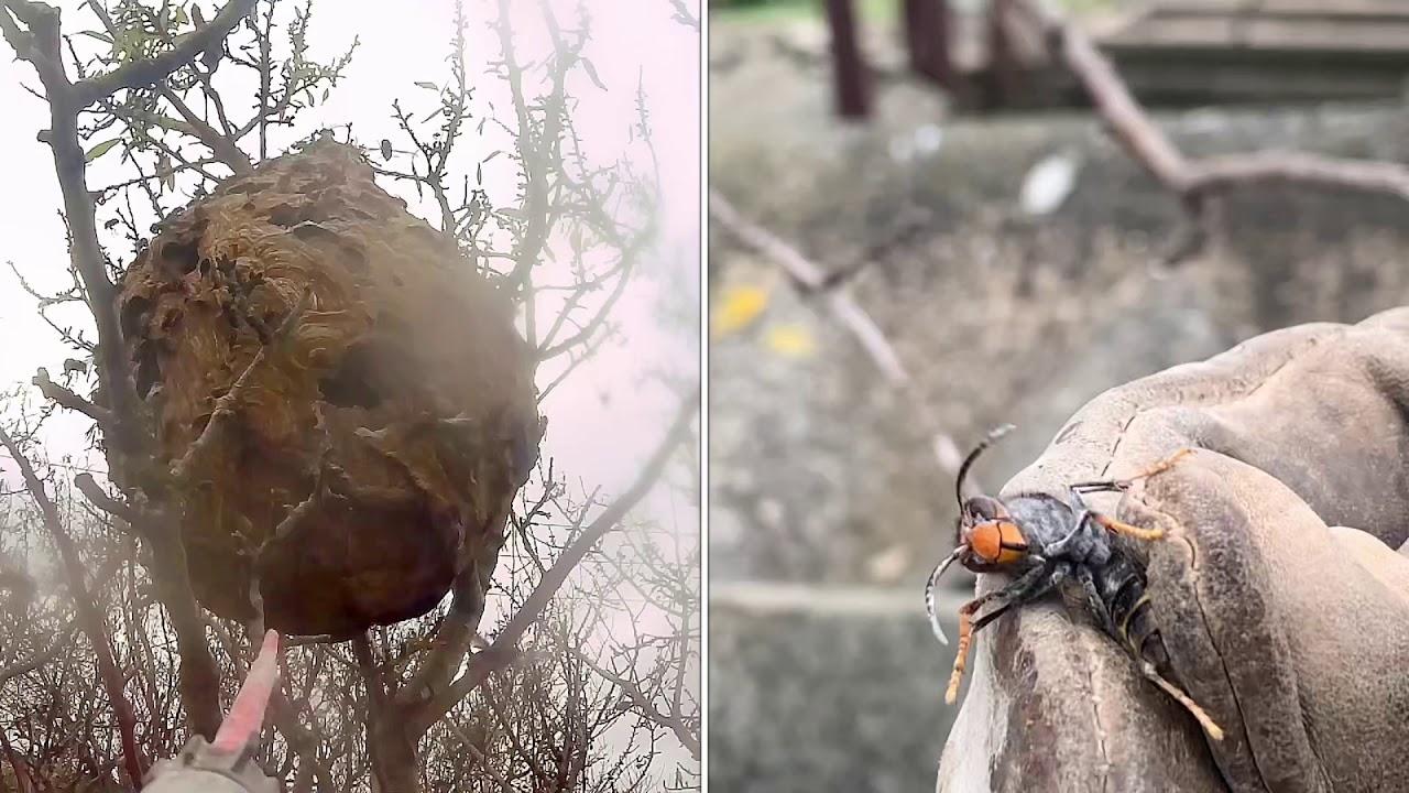 Gros nid de frelons asiatique à Garons dans le Gard