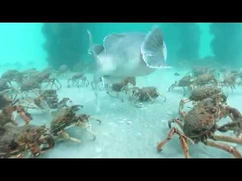 Stingrays feeding on Spider Crabs.