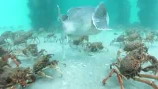 Stingrays feeding on Spider Crabs.