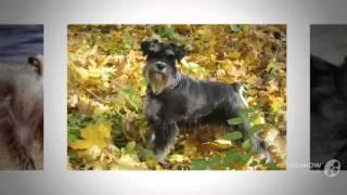 Цвергшнауцер или миниатюрный шнауцер порода собак
