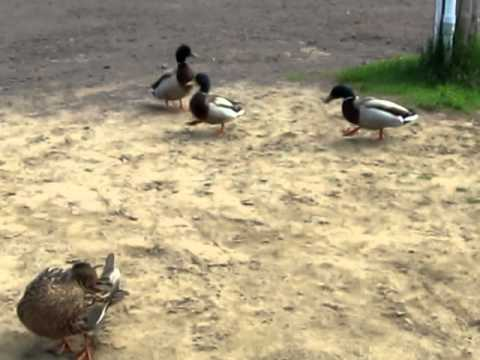 Female Mallard Duck Being Chased By Male Ducks