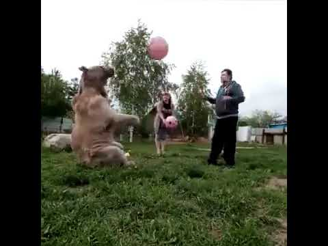Russian Family Living And Playing With A Bear