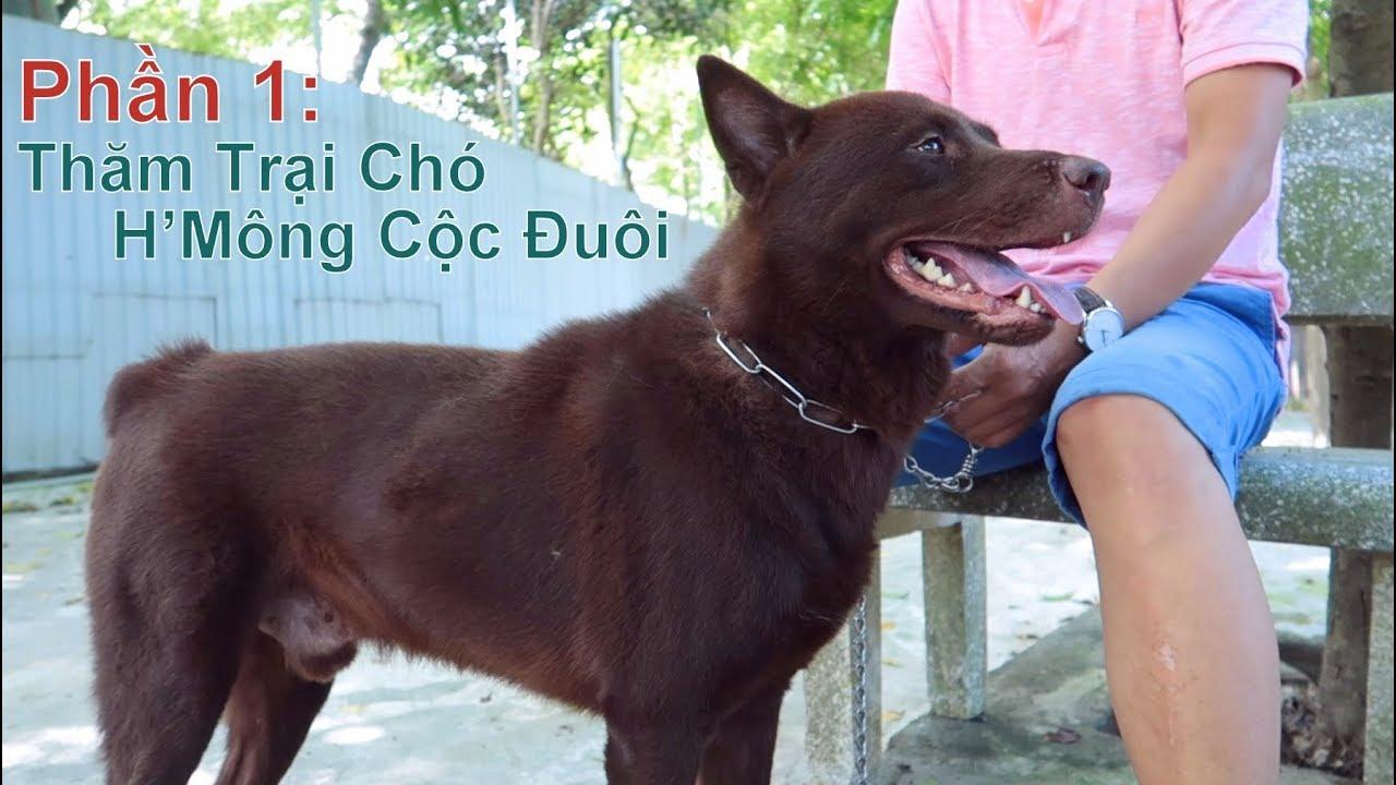 P1: Thăm Trại Chó H'mông Cộc Đuôi tại Hà Nội/ Quốc Khuyển Việt Nam/ NhamTuatTV