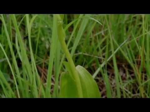 Любка двулистная (Platanthera Bifolia). Любка двулистная